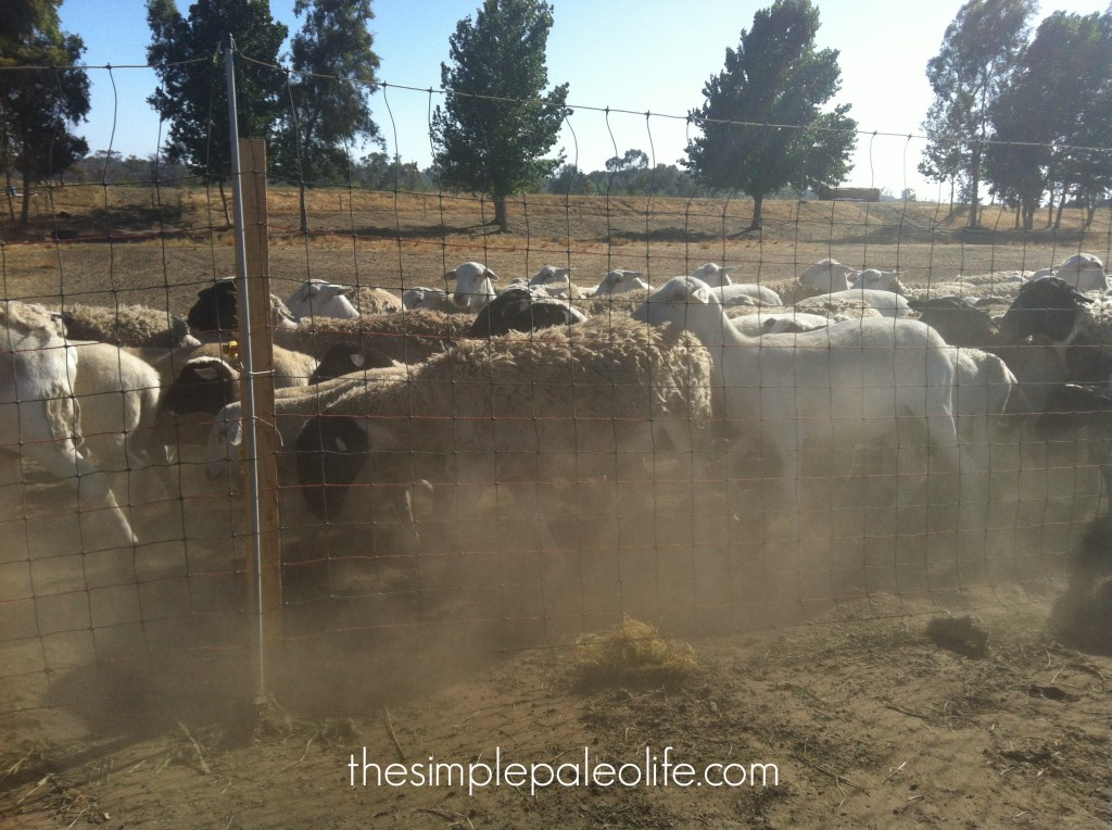 ethical sheep farm