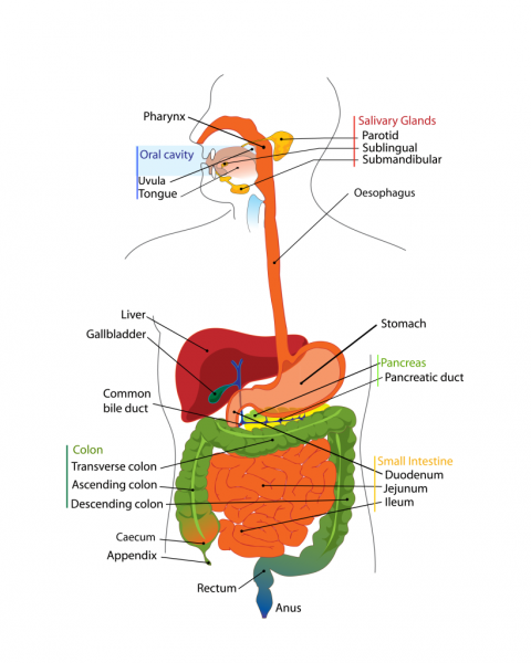 digestive tract diagram