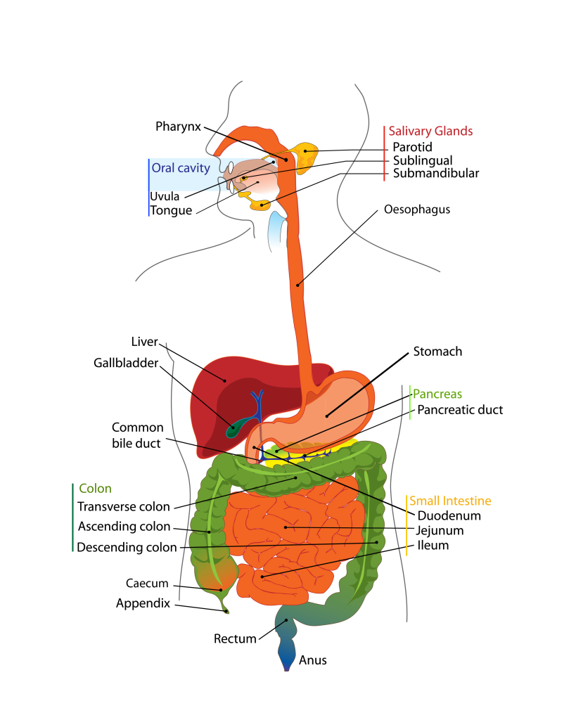 a description of the digestive system that prepares food particles for their entry into the bloodstr